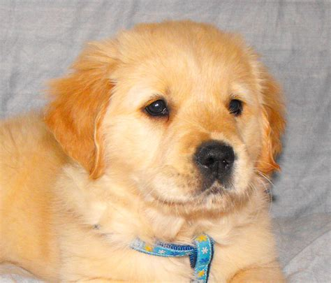 golden retriever breed the golden retriever is on of the most popular breed around breeds picture