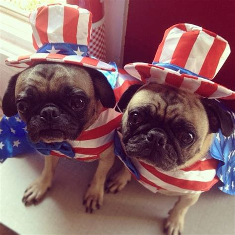 pug flag flag day pug dogs photo and wallpaper beautiful flag day pug dogs pictures