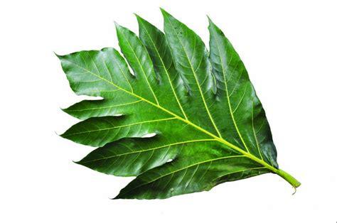 Batu Madu lawan penyakit dengan 7 manfaat daun sukun manfaat bagus