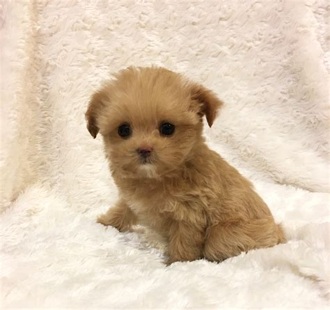 teacup pomeranian puppies california teacup maltipoo puppy for sale california iheartteacups