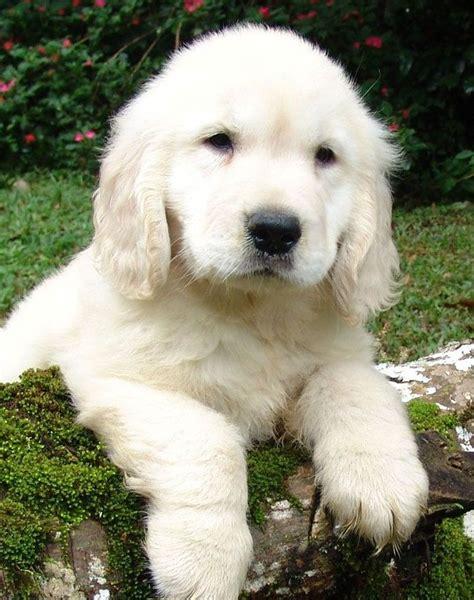 golden retriever puppy white spot on 1000 ideas about white golden retrievers on