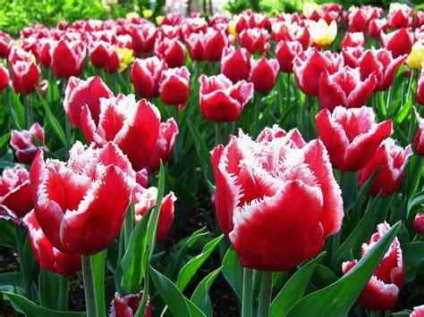 Ransel Tulip 3 In 1 in robin s nest a plethora of tulips