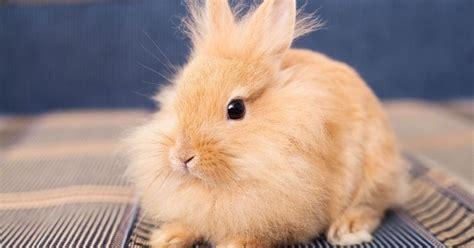 quel est ce virus mortel et foudroyant qui tue les lapins