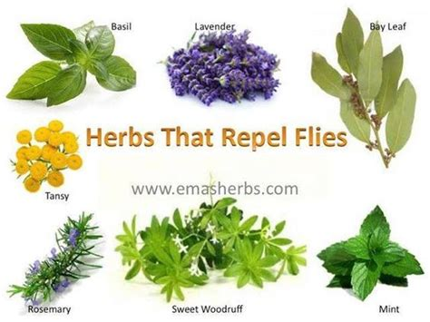 repel flies and herbs on pinterest