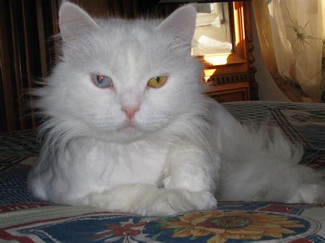 occhi di due colori diversi gatti con gli occhi di colori diversi