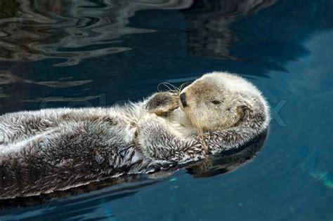 otter schlafen otter schl 228 ft und schwimmt auf dem r 252 cken stockfoto