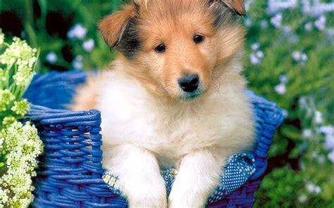 kawaii puppy puppy puppies wallpaper 13379766 fanpop