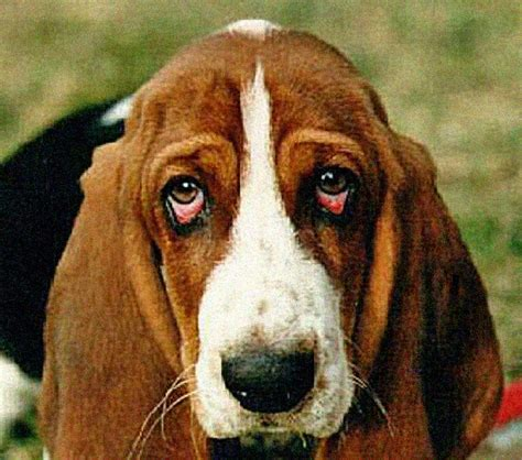 ectropion in dogs ectropion and the failed crufts dogs