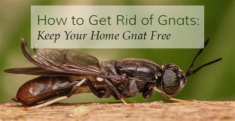 why are gnats in my house how to get rid of gnats keep your home gnat free