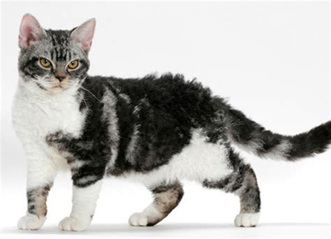 american wirehair cat breeders american wirehair cat breed mypetzilla