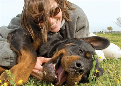 rottweiler lymphoma learn about the rottweiler breed from a trusted veterinarian