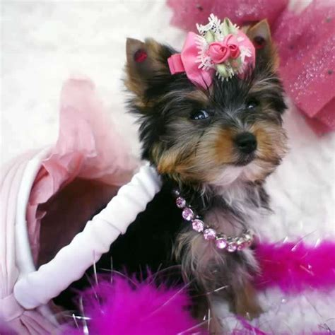 teacup micro yorkie yorkies for sale micro teacup yorkie pup tiny