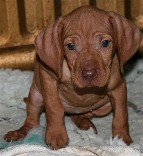 viszla puppies hungarian vizsla puppies for sale alton hshire pets4homes