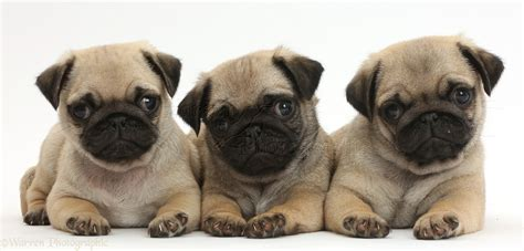 three pugs dogs three pug puppies in a row photo wp41979