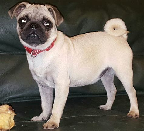 pug carrier fawn white carrier pug baby for sad sale birmingham west midlands pets4homes