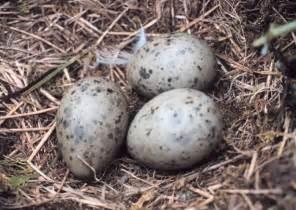 speckled bird eggs perfection eggs pinterest