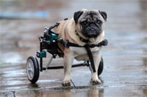 pug leg problems 1000 images about wheels on pug dogs wheels and dogs