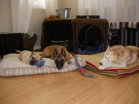 husky puppies for sale san antonio for with a blighted ovum html autos weblog
