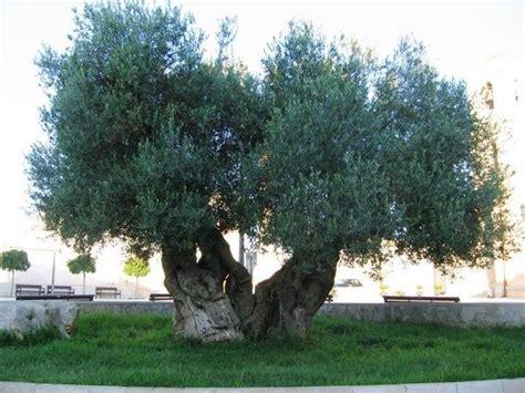 ulivo giardino ulivi olea europaea alberi ulivi alberi