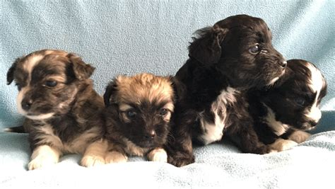 shih tzu x chihuahua for sale shih tzu x chihuahua puppies for sale ingatestone essex pets4homes