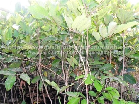 Jual Bibit Pohon Rambutan jual bibit rambutan unggul murah