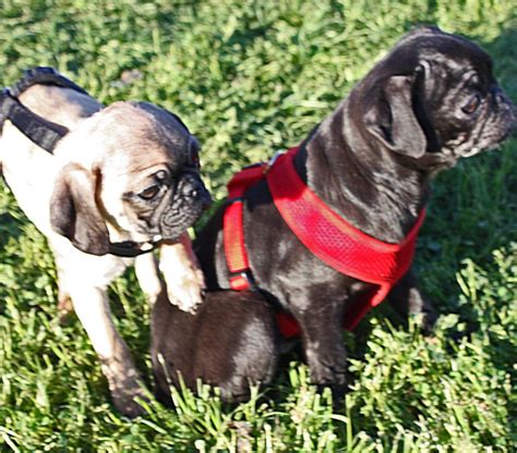 oklahoma pug rescue major pug rescue from animal hoarder in okc animals pets