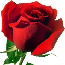 imagenes de rosas rojas y blancas related keywords suggestions for imagenes rosas rojas