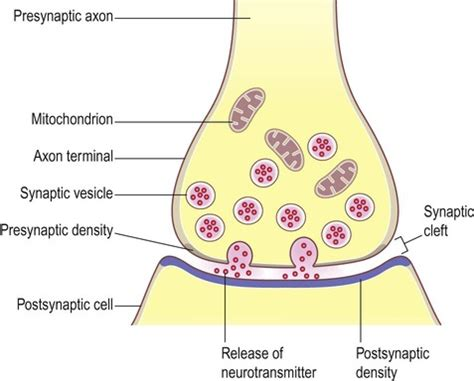 chemical synapse diagram synaptic transmission neupsy key