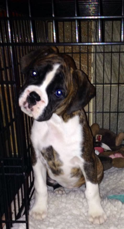 puppies looking for homes boxer puppies looking for forever homes 5 port talbot neath port talbot pets4homes