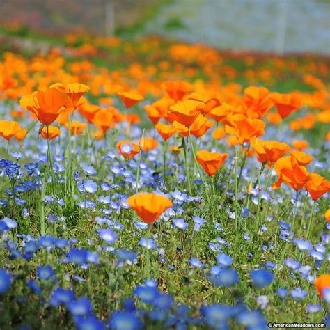 native pacific northwest wildflower seed mix american