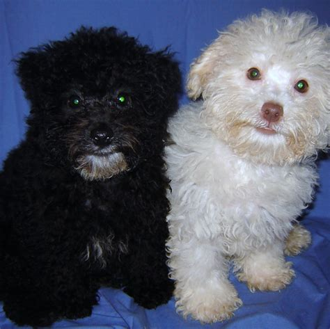 poodles puppies poodle puppy pictures