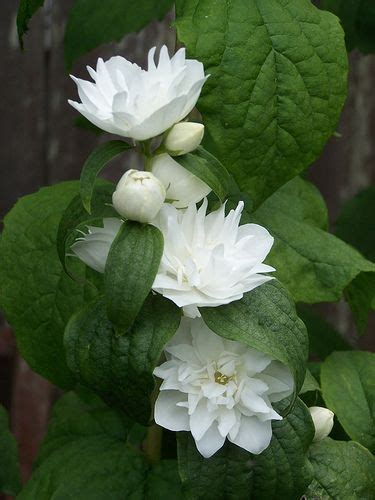 highly fragrant plants 17 best images about philadelphus on orange