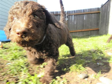 doodle puppies for sale in washington state labradoodle puppies for sale aussiedoodle and labradoodle