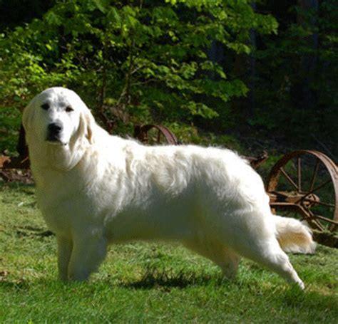 white oak golden retrievers creme golden retriever puppies golden retriever puppies