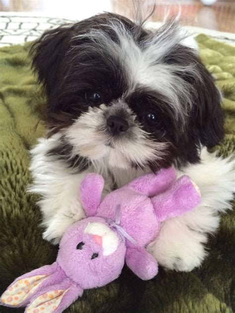 best 25 shih poo ideas on pinterest shih poo puppies toy shitzu puppies goldenacresdogs com