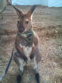 pet wallaby on the loose in edmonton area weird news