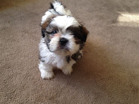 shih tzu 4 sale shih tzu puppies d lregistered had 1st vaccination bolton greater manchester