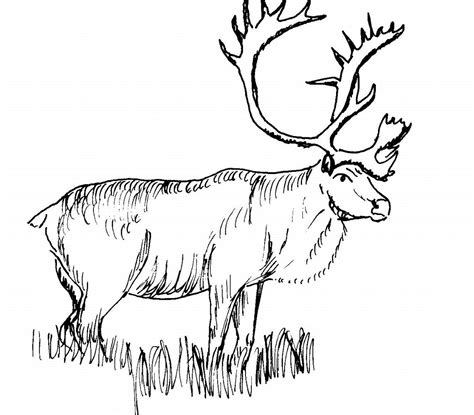 caribou coloring pages free printable caribou coloring pages