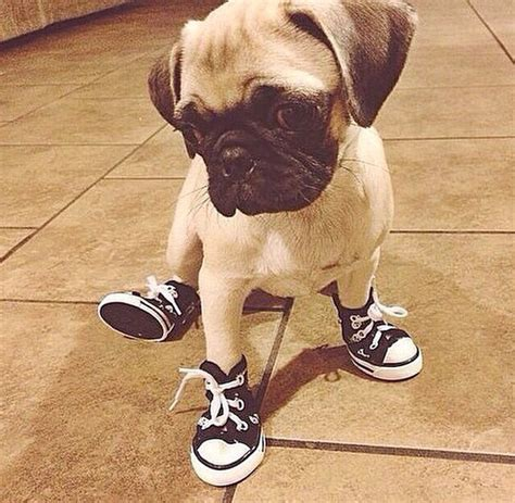 pugs for adoption near me the 25 best ideas about pugs for adoption on project pets and