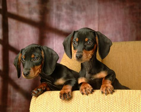 free dachshund puppies in free mini dachshund puppies 36 background dogbreedswallpapers