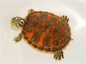 Florida Red Bellied Turtle (Yearling) for sale from The Turtle Source