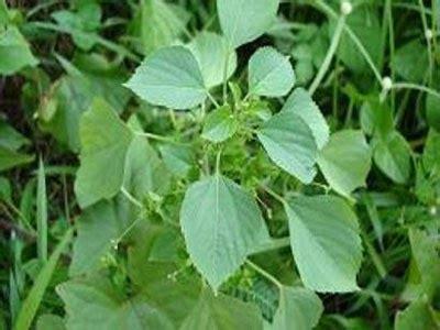 Anting Mahkota anting anting acalypha australis mahkota herbal