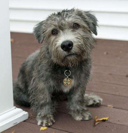 glen of imaal terrier puppies glen of imaal terrier info temperament puppies pictures