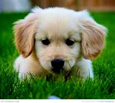 golden retriever puppy pictures petyourdog pet your miniature golden retriever puppy