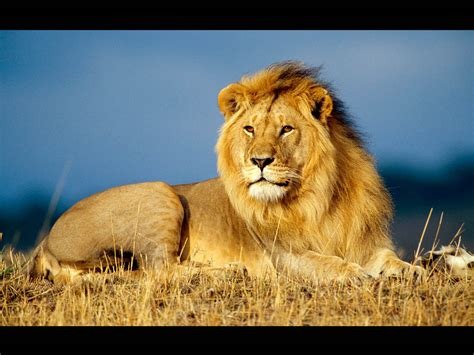 Wallpaper Free Lion | wallpapers male lion wallpapers