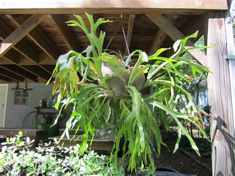 about staghorn ferns tips