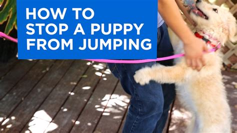 how to a to stop jumping on how to your puppy to stop jumping funnydog tv