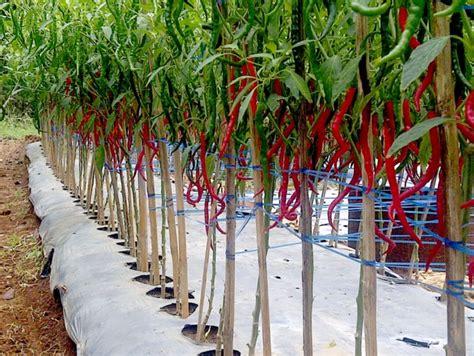 Cabe Merah Keriting cara menanam cabe merah keriting untuk pemula tanaman hias