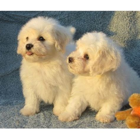 havanese rescue new york accent havanese havanese breeder in arcade new york 14009 freedoglistings id