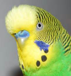 budgies are awesome budgie vision 1